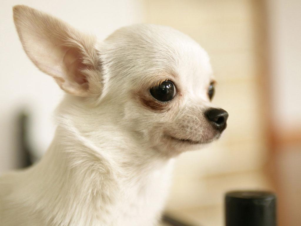 Hình ảnh chó chihuahua trắng dễ thương