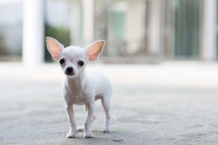 Hình ảnh chó chihuahua trắng