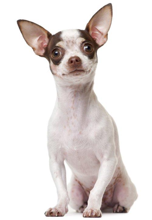 Hình ảnh chó chihuahua trưởng thành