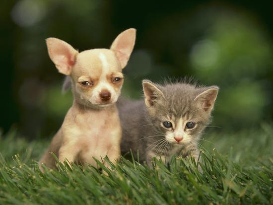 Hình ảnh chó chihuahua và mèo con