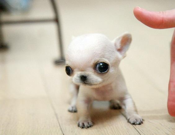 Hình ảnh chó con chihuahua cute