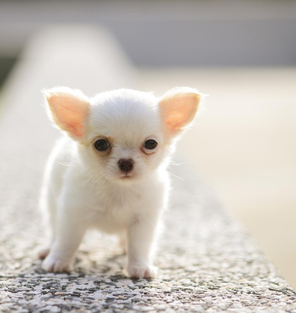 Hình ảnh chó con chihuahua dễ thương