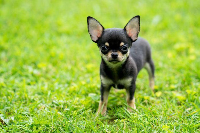 Hình ảnh chó con chihuahua