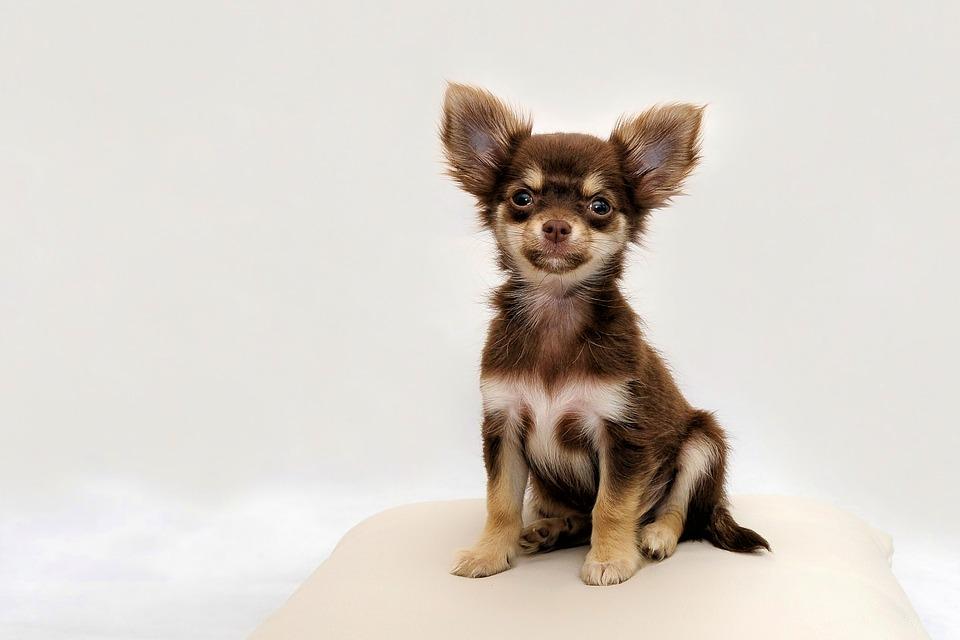 Hình ảnh con chó chihuahua