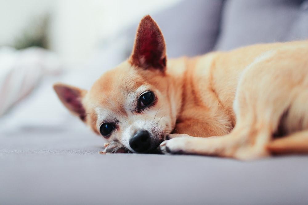Hình ảnh dễ thương của chó chihuahua