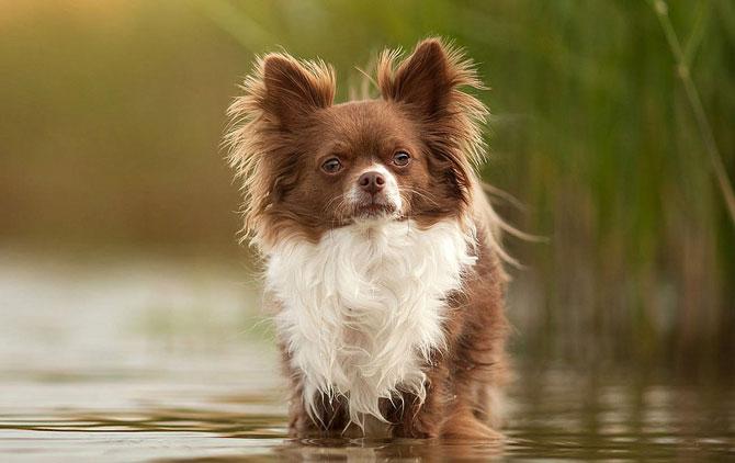 Hình ảnh đẹp chó chihuahua lông dài
