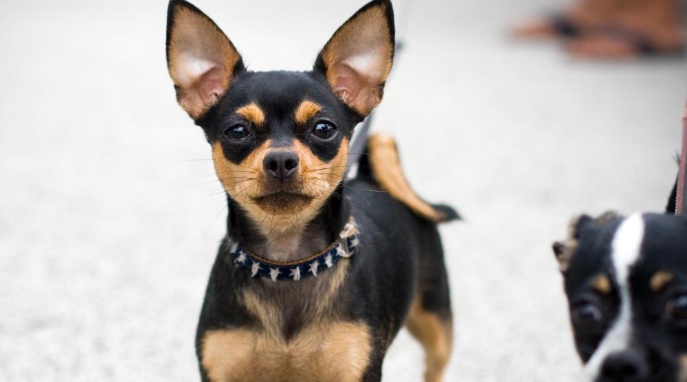 Hình ảnh đẹp chó chihuahua