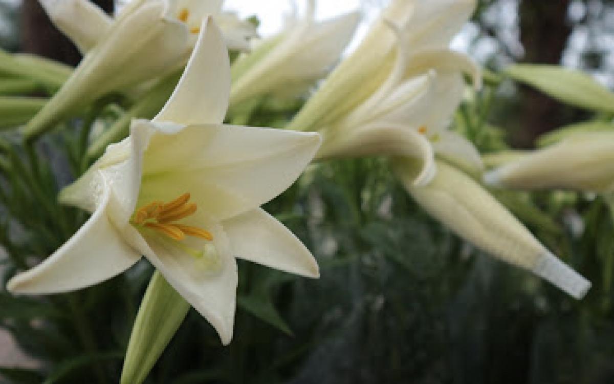 Hình ảnh đẹp nhất về hoa loa kèn trắng