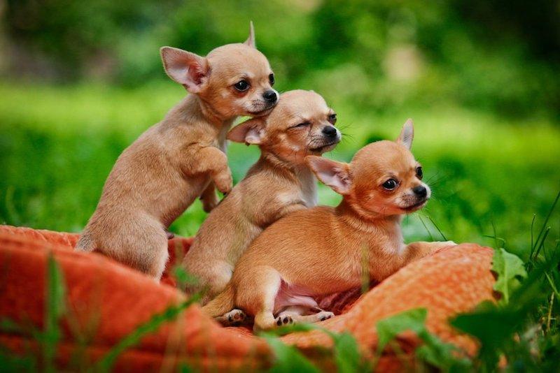 Hình ảnh đẹp về những chú chó chihuahua