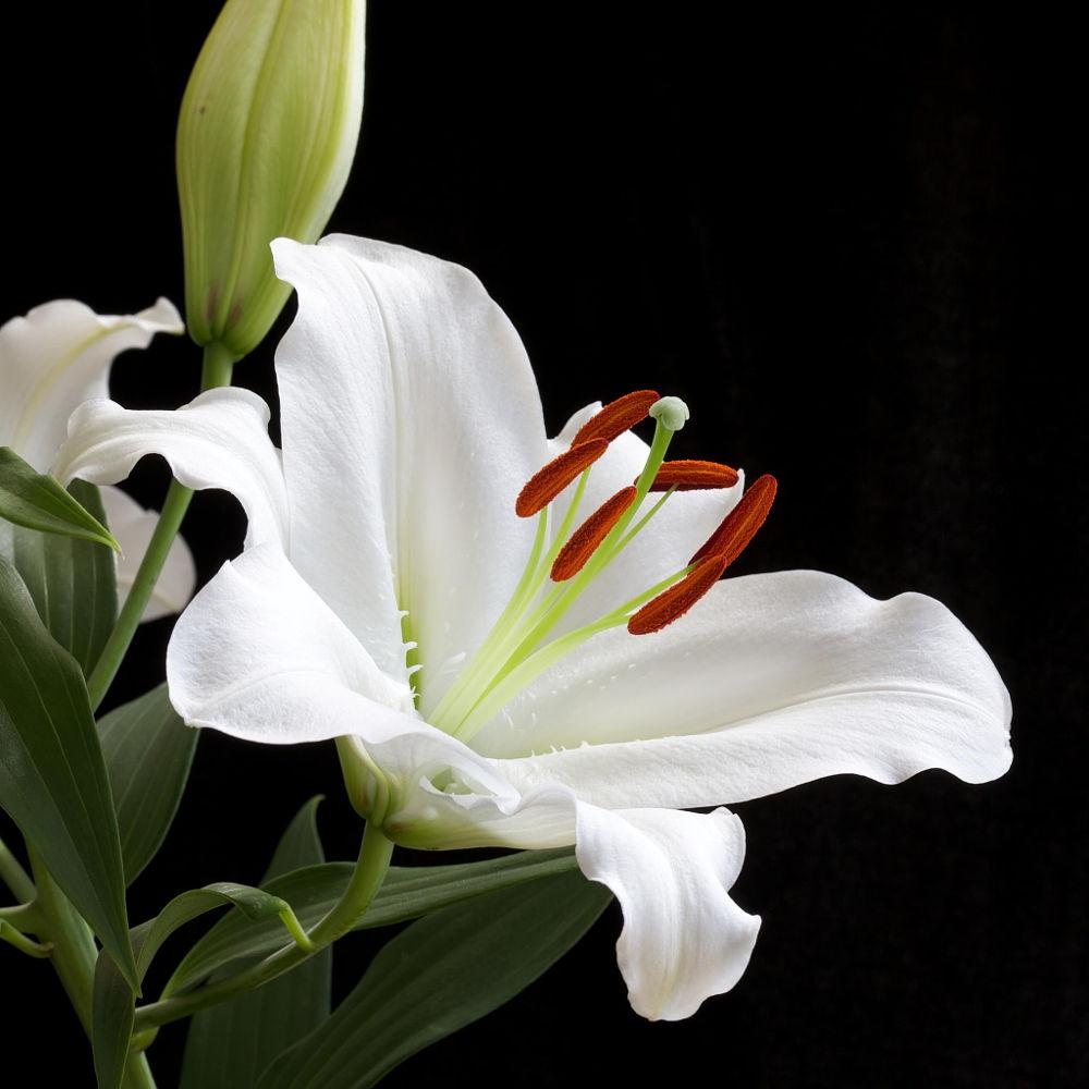 Hình ảnh hoa loa kèn nở đẹp nhất