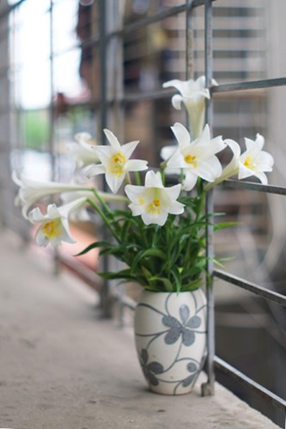 Hinh ảnh hoa loa kèn trắng Đà Lạt nở đẹp nhất