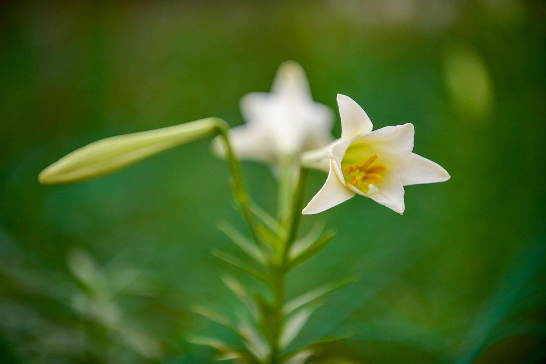 Hình ảnh hoa loa kèn trắng đẹp
