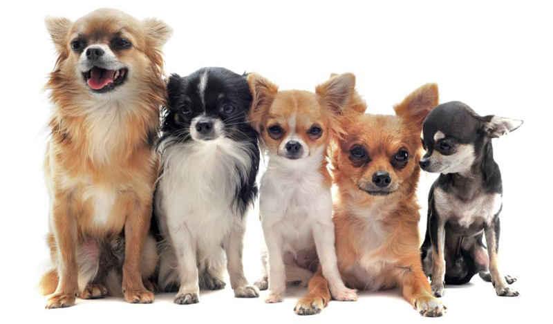 Hình ảnh những chú chó chihuahua