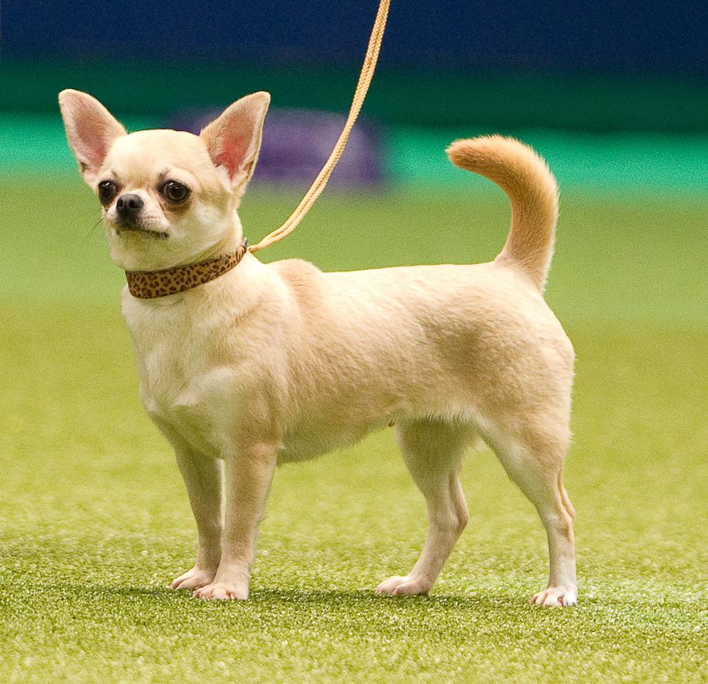 Hình ảnh về chó chihuahua