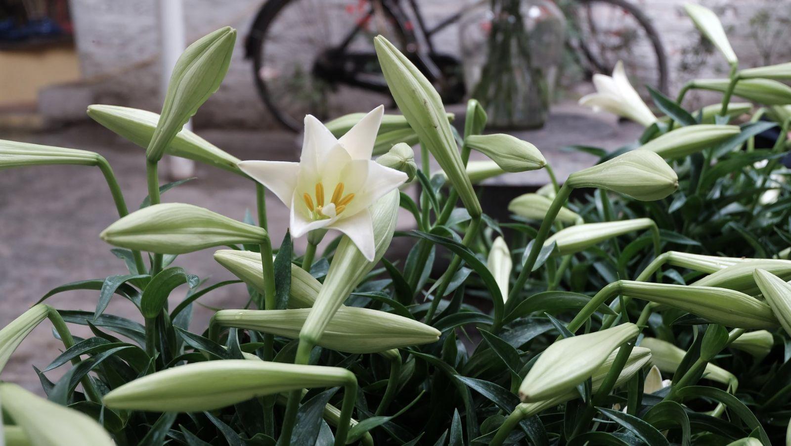 Hình ảnh vườn hoa loa kèn trắng đẹp nhất
