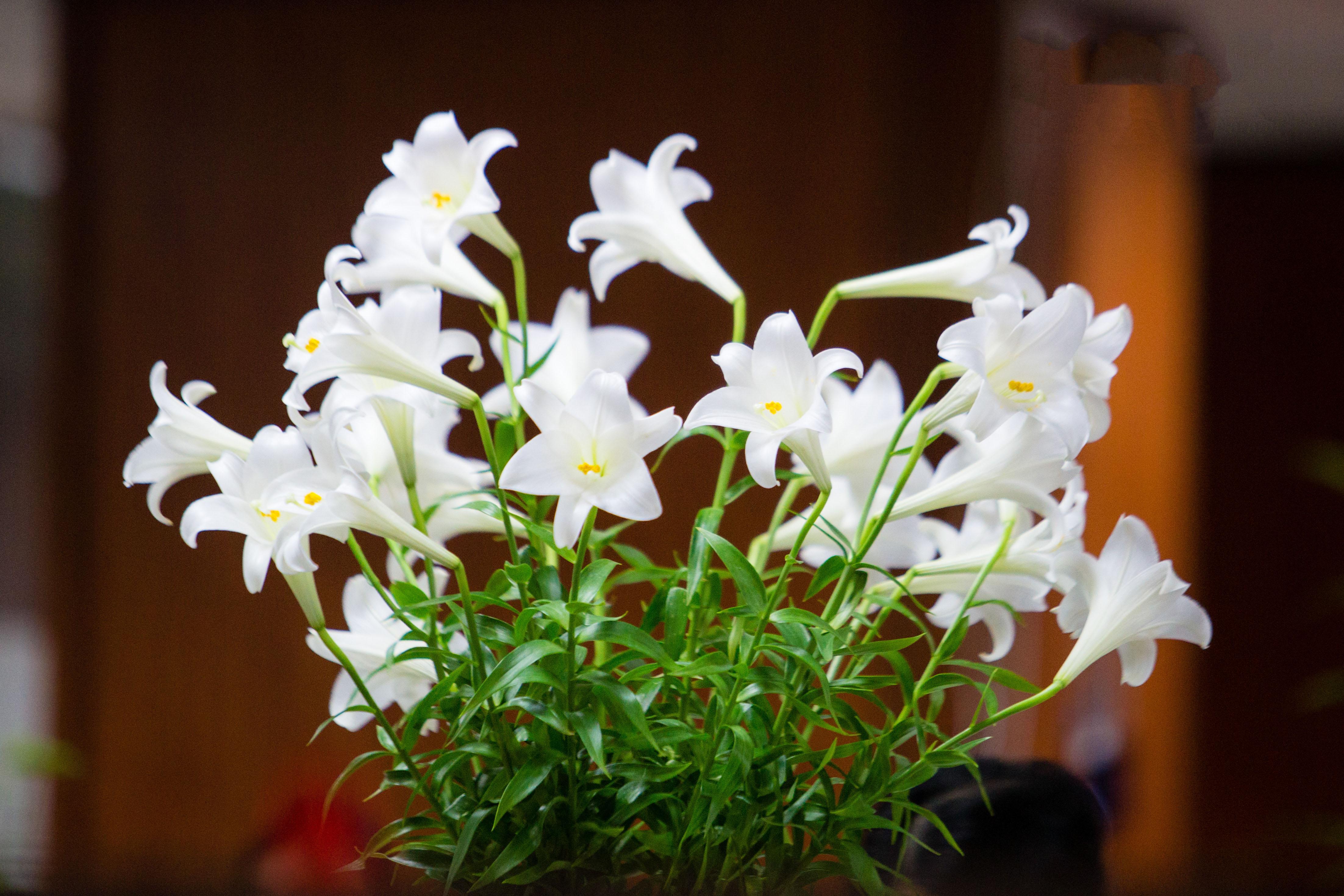 Hình hoa loa kèn trắng đẹp