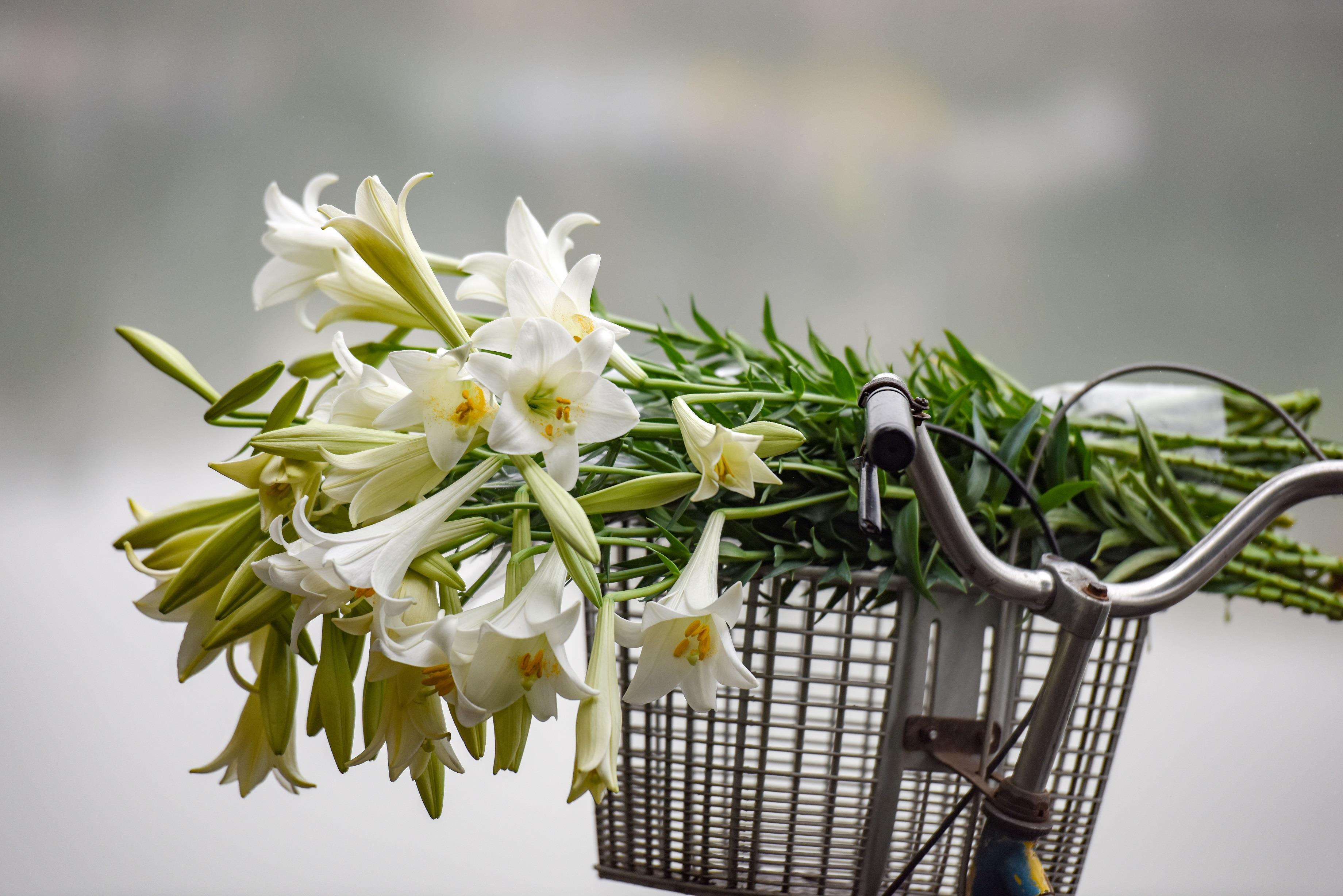 Hoa loa kèn trắng Đà Lạt hình ảnh đẹp nhất