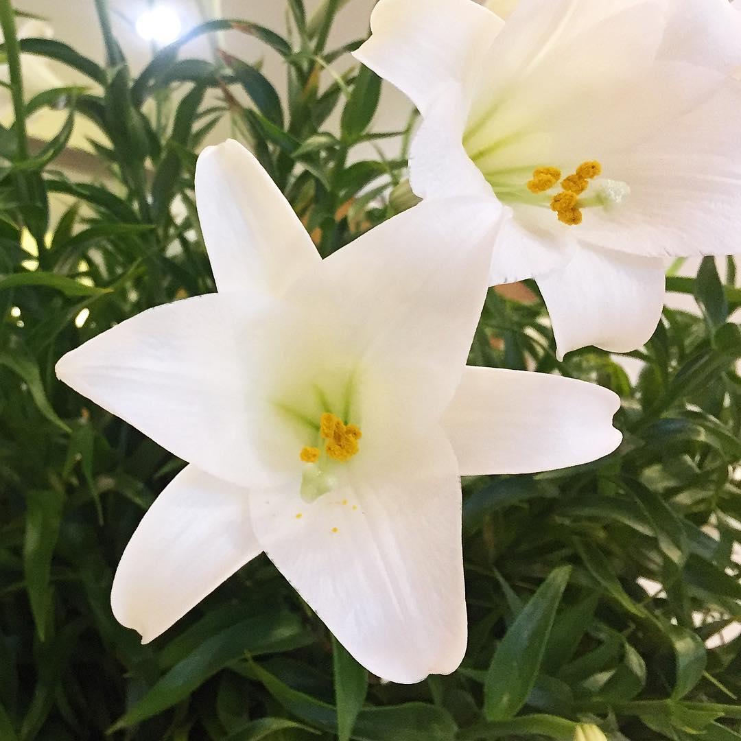 Hoa loa kèn trắng những hình ảnh đẹp nhất