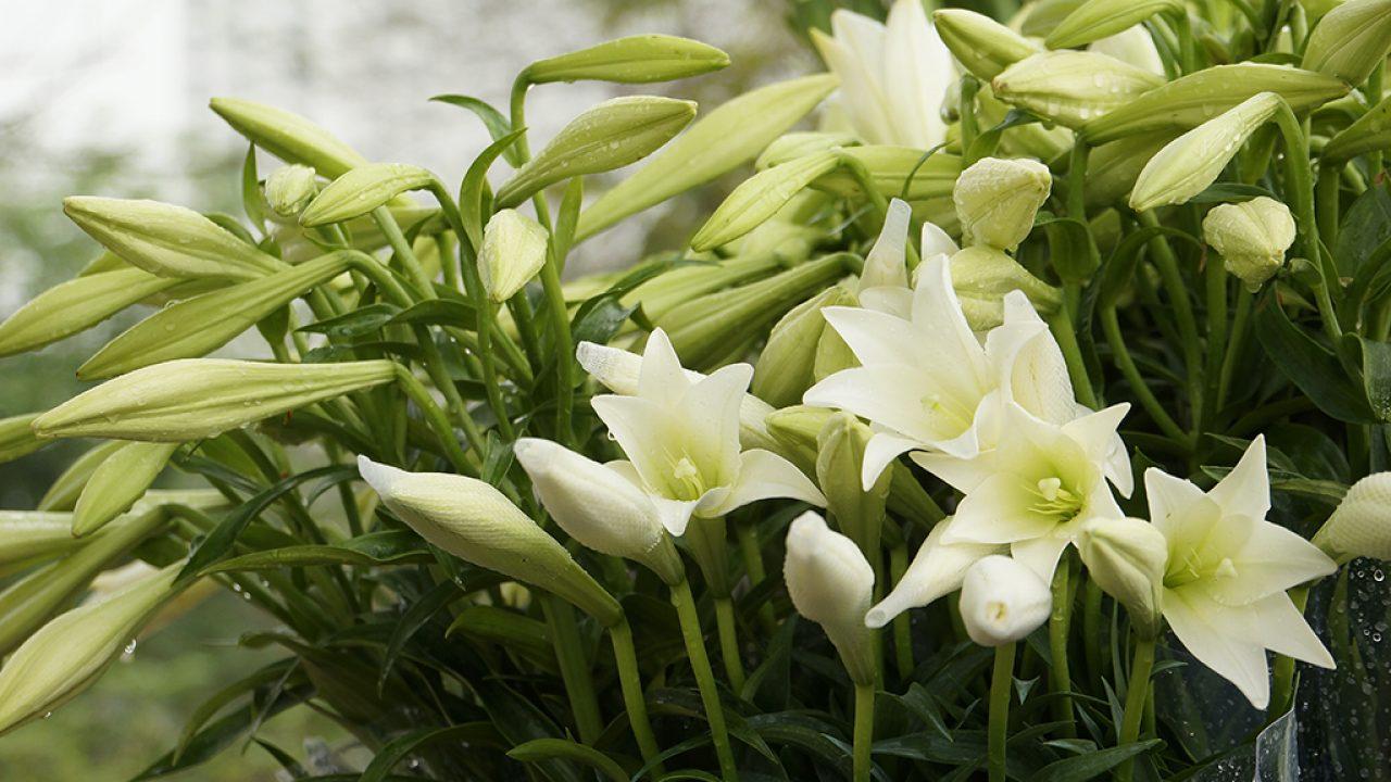 Những hình ảnh hoa loa kèn đẹp