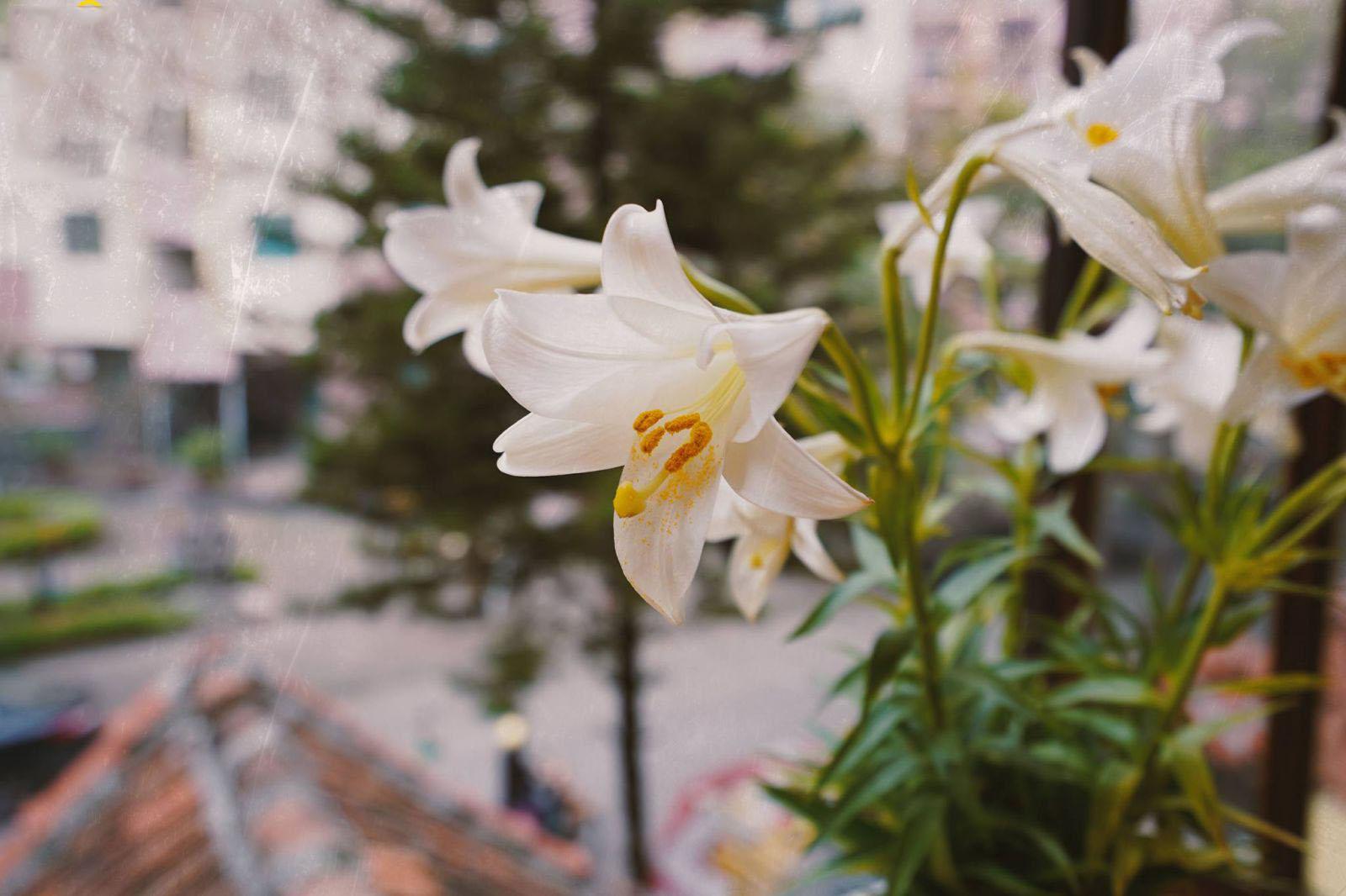 Những hình ảnh hoa loa kèn trắng đẹp