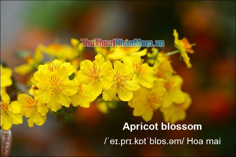 Apricot blossom Hoa mai