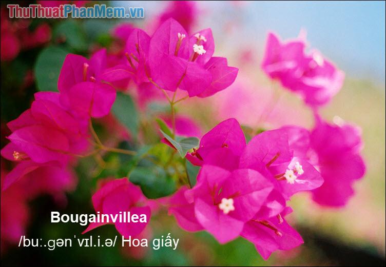 Bougainvillea Hoa giấy