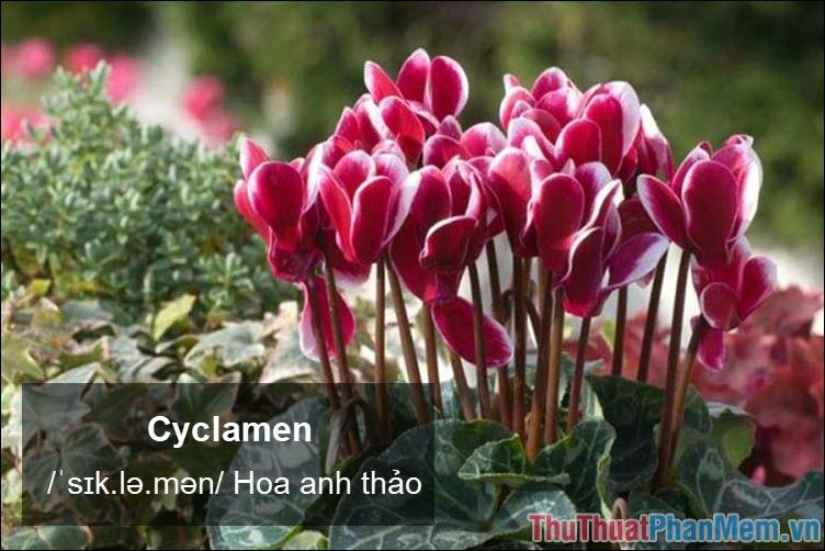 Cyclamen Hoa anh thảo