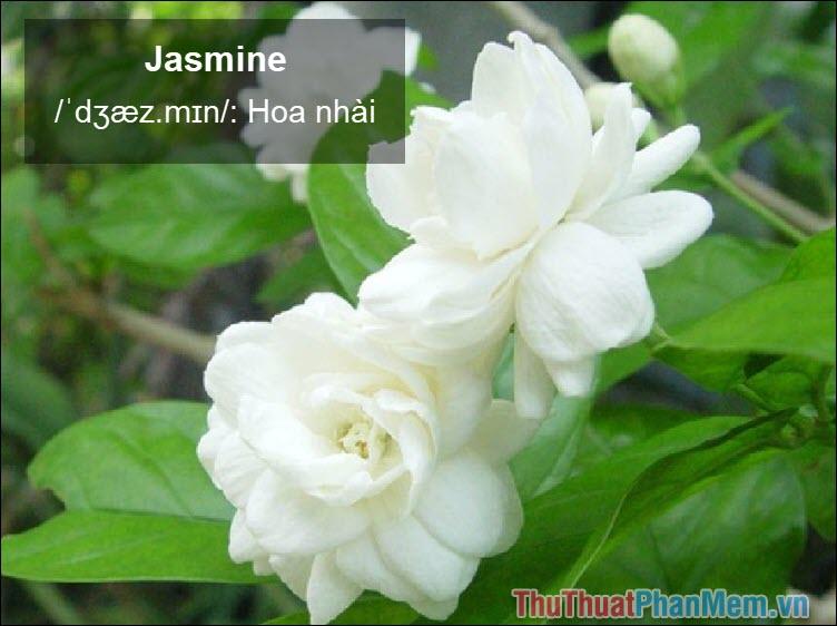Jasmine Hoa nhài