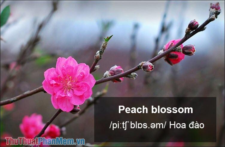 Peach blossom Hoa đào