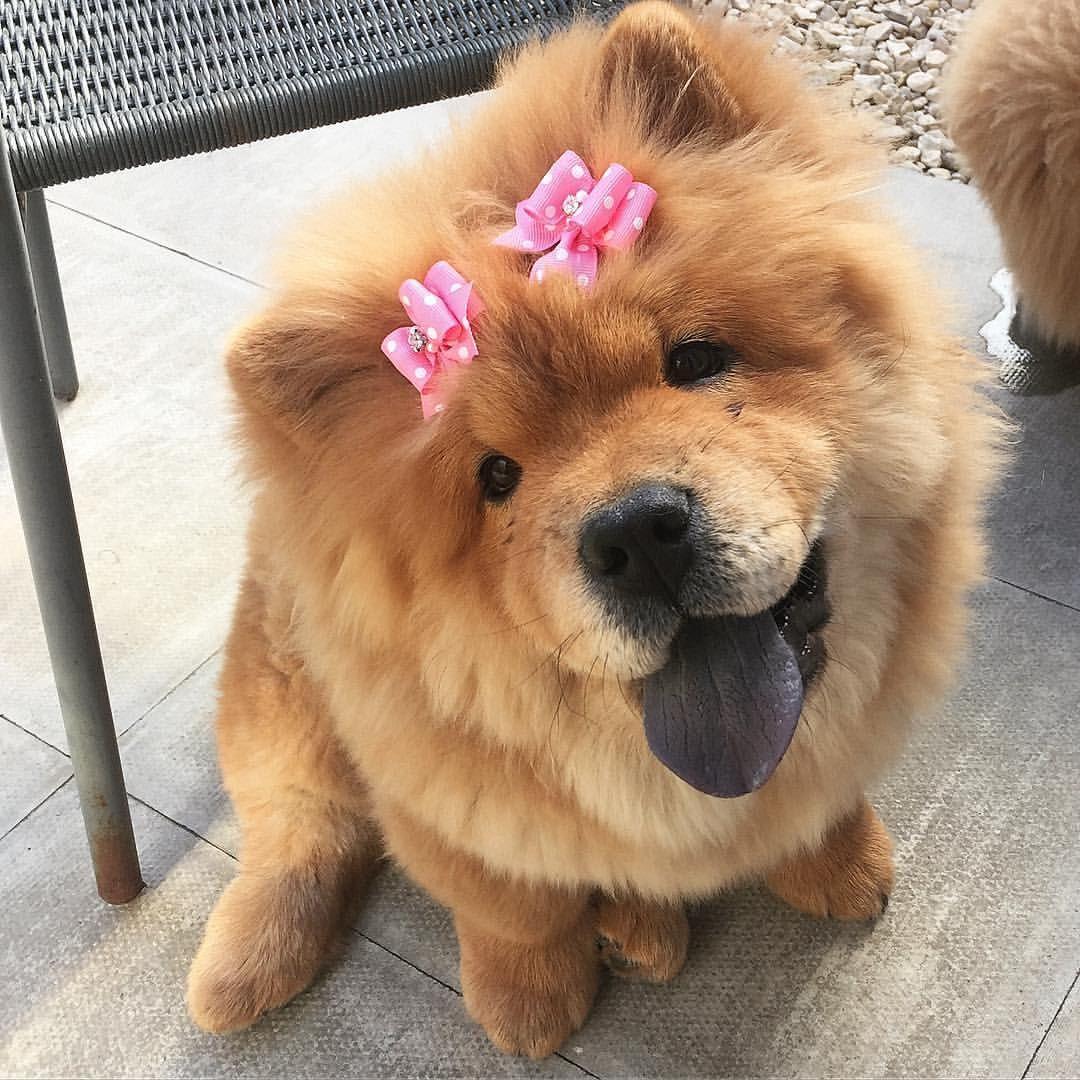 Chó chow chow đeo nơ hồng trên đầu
