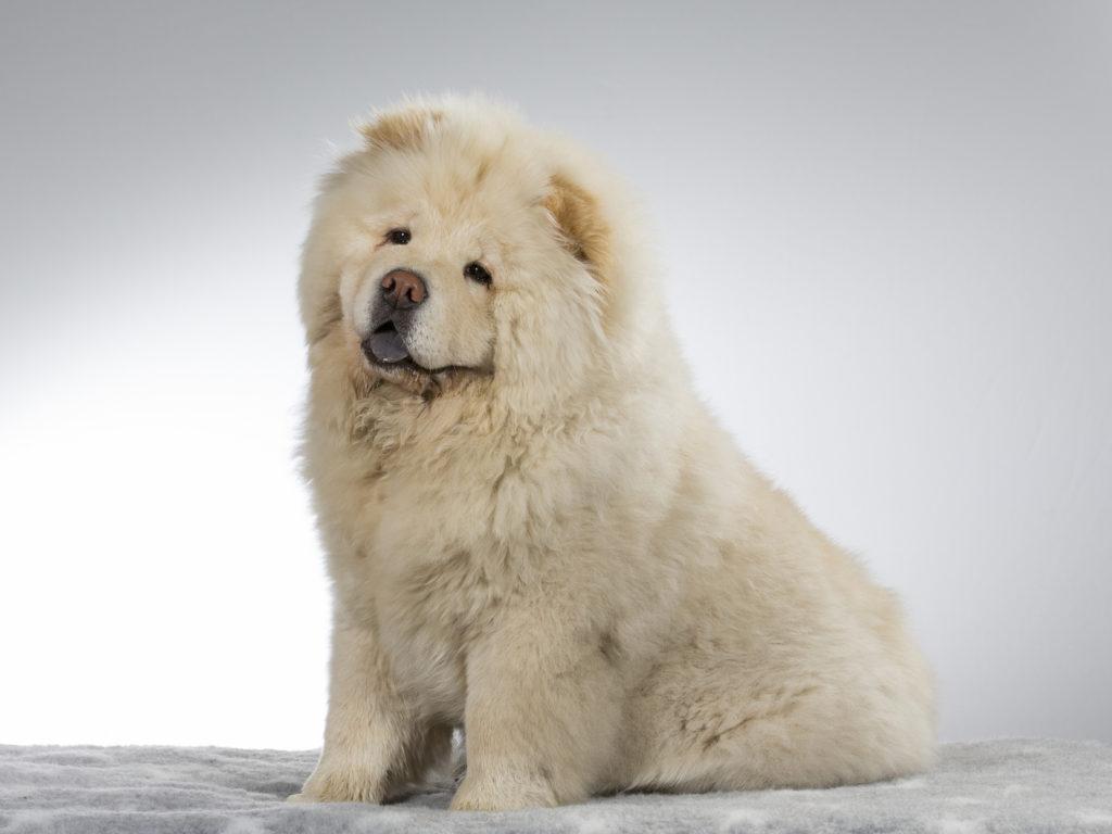 Chó chow chow lông xù trắng cực đẹp