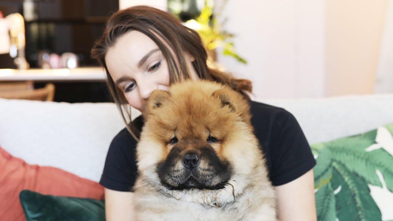 Chó chow chow mặt buồn cực xinh