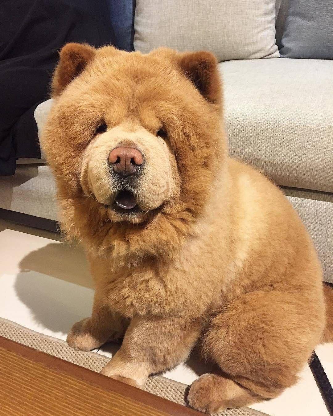 Chó chow chow nuôi trong nhà