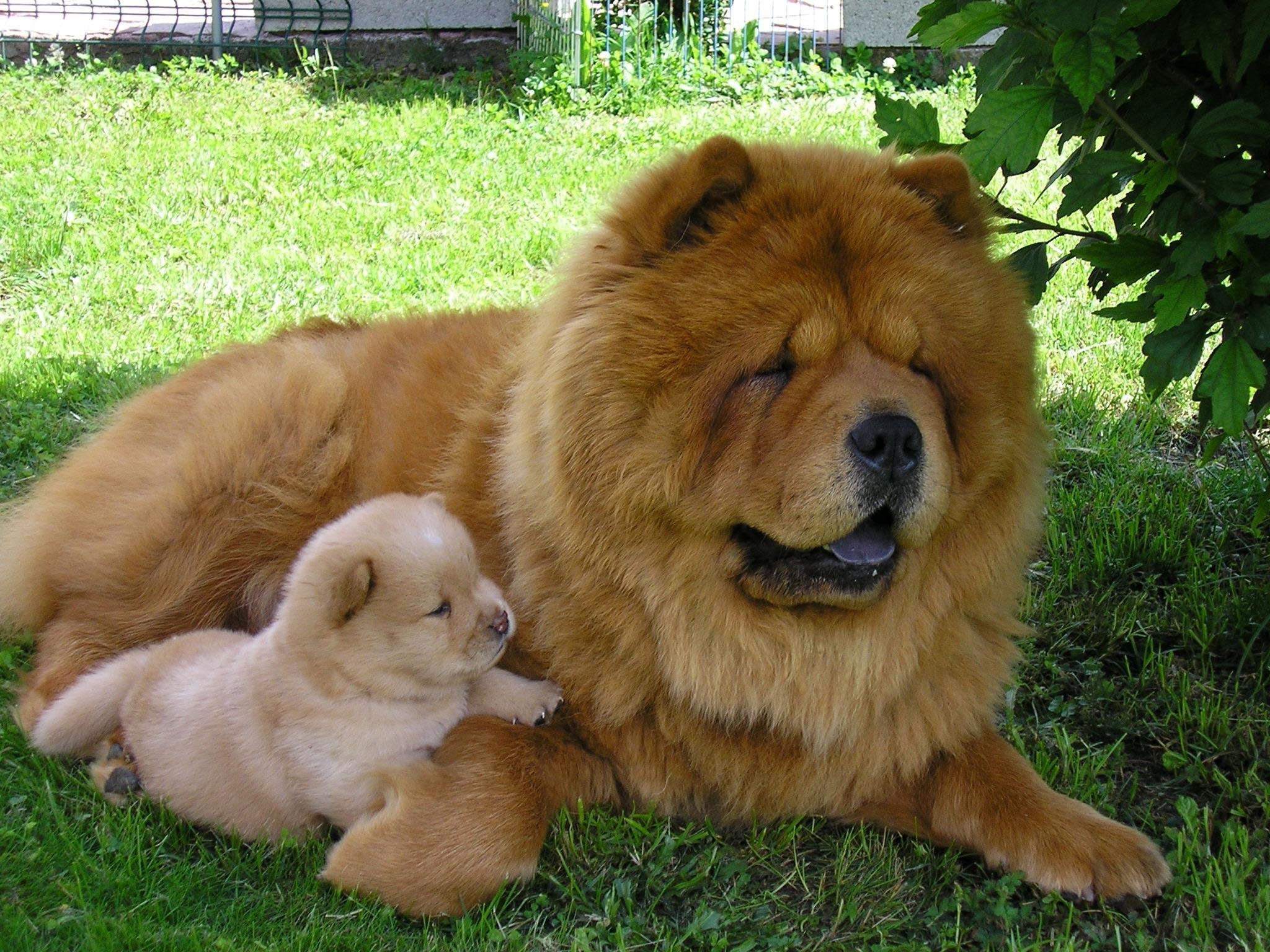 Chó chow chow to và chow bé nằm cạnh nhau trên cỏ
