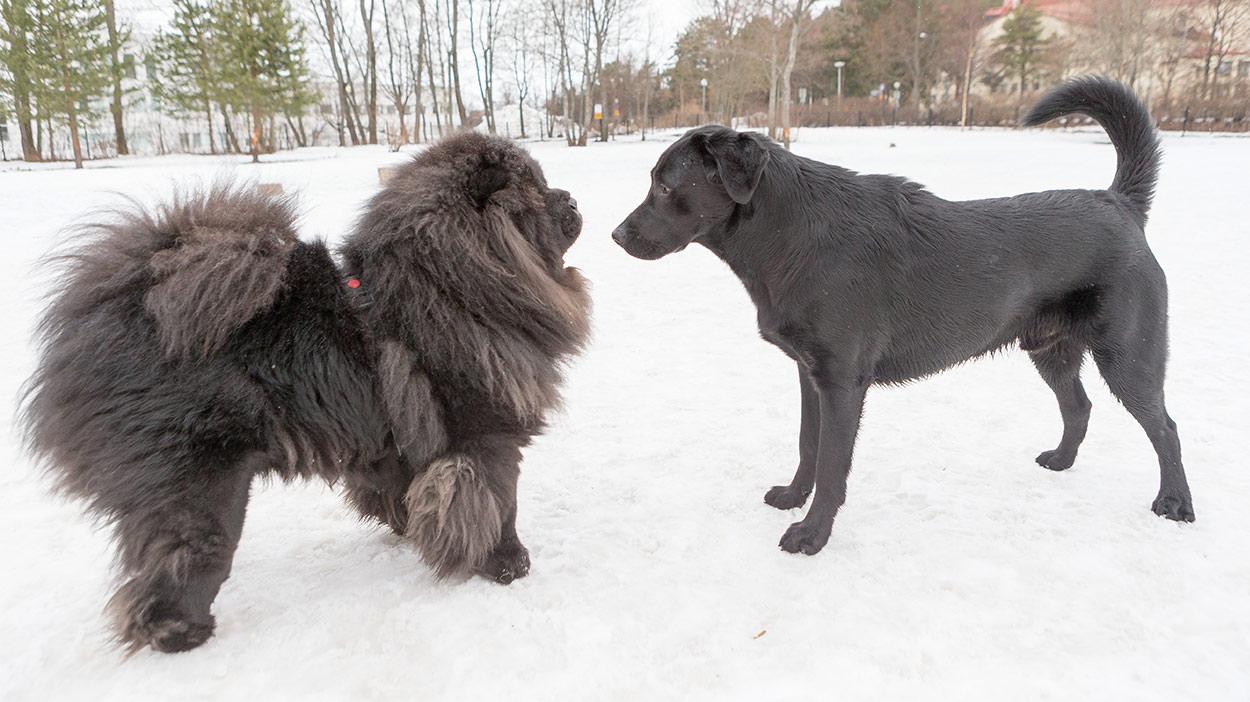 Chó chow chow và chó charbrador