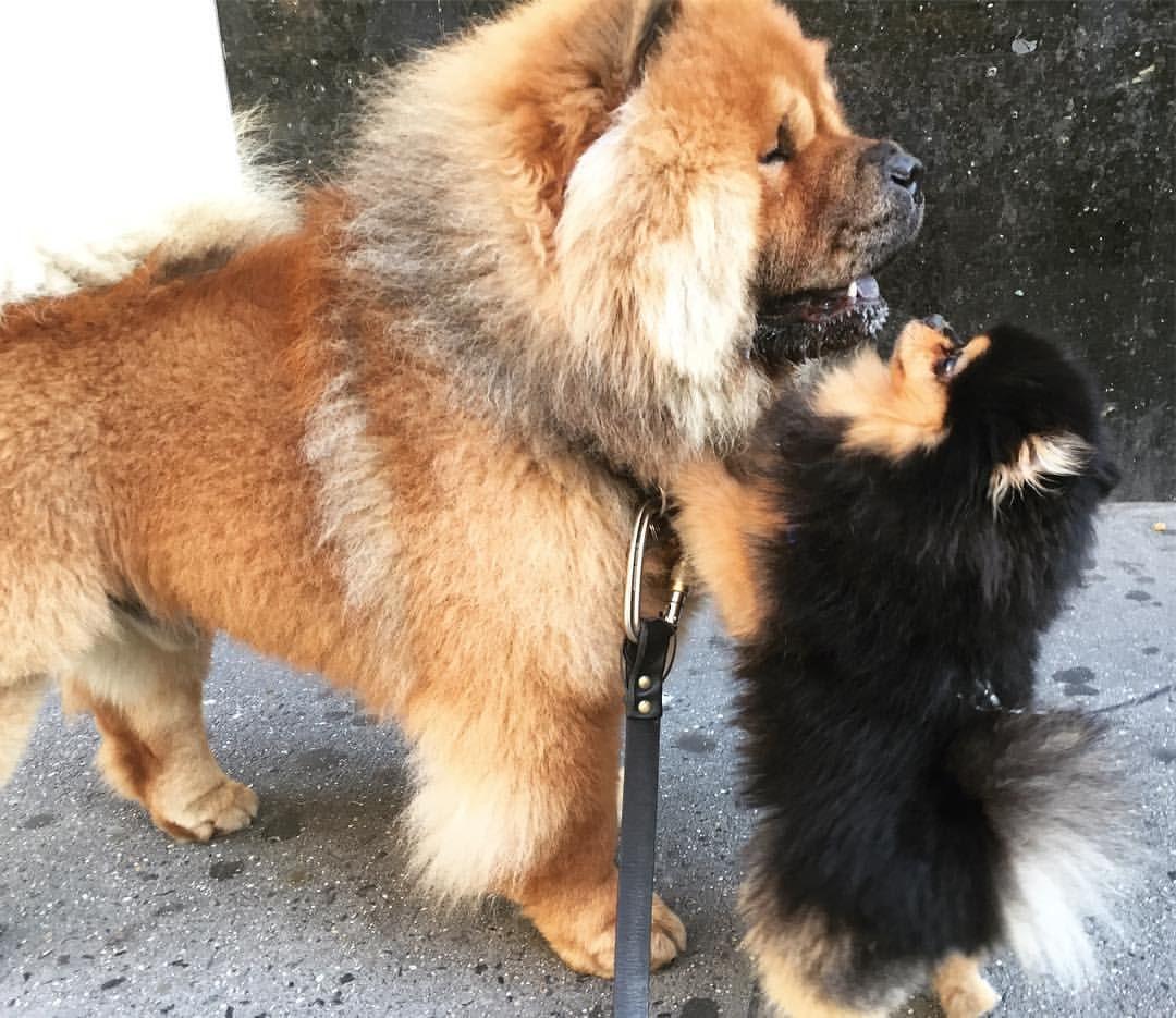 Chó chow chow và phốc sóc lông xù cực xinh