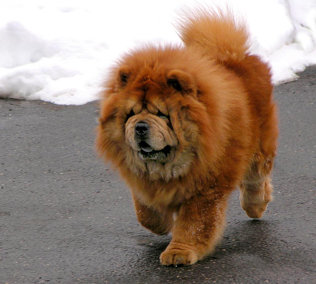 Chó lông xù vàng rảo chân bước đi