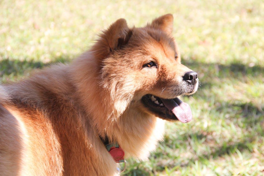 Chú chó chow chow lai dưới ánh nắng