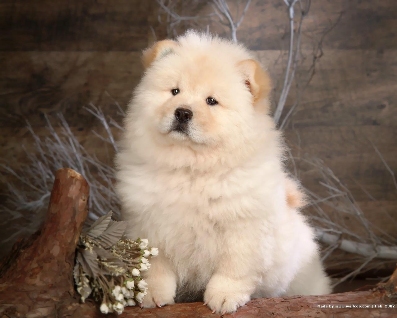 Chú chó chow chow lông trắng chụp ảnh nghệ thuật