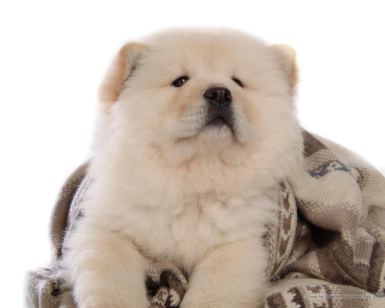 Chú chó chow chow lông trắng mặt vênh xinh đẹp