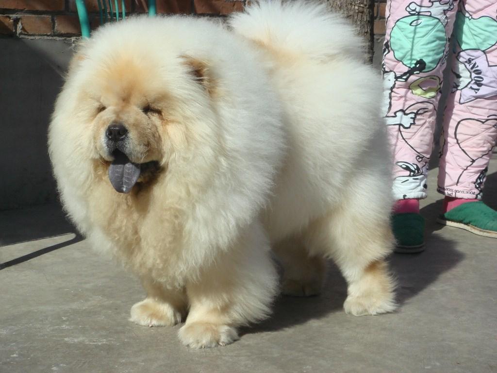 Chú chó chow chow lông trắng rậm cực xinh