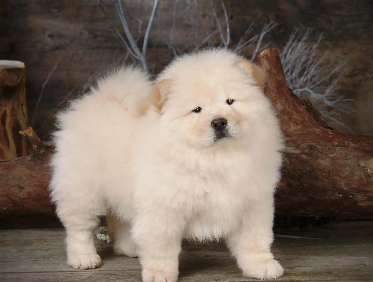 Chú chó chow chow lông trắng xinh đẹp