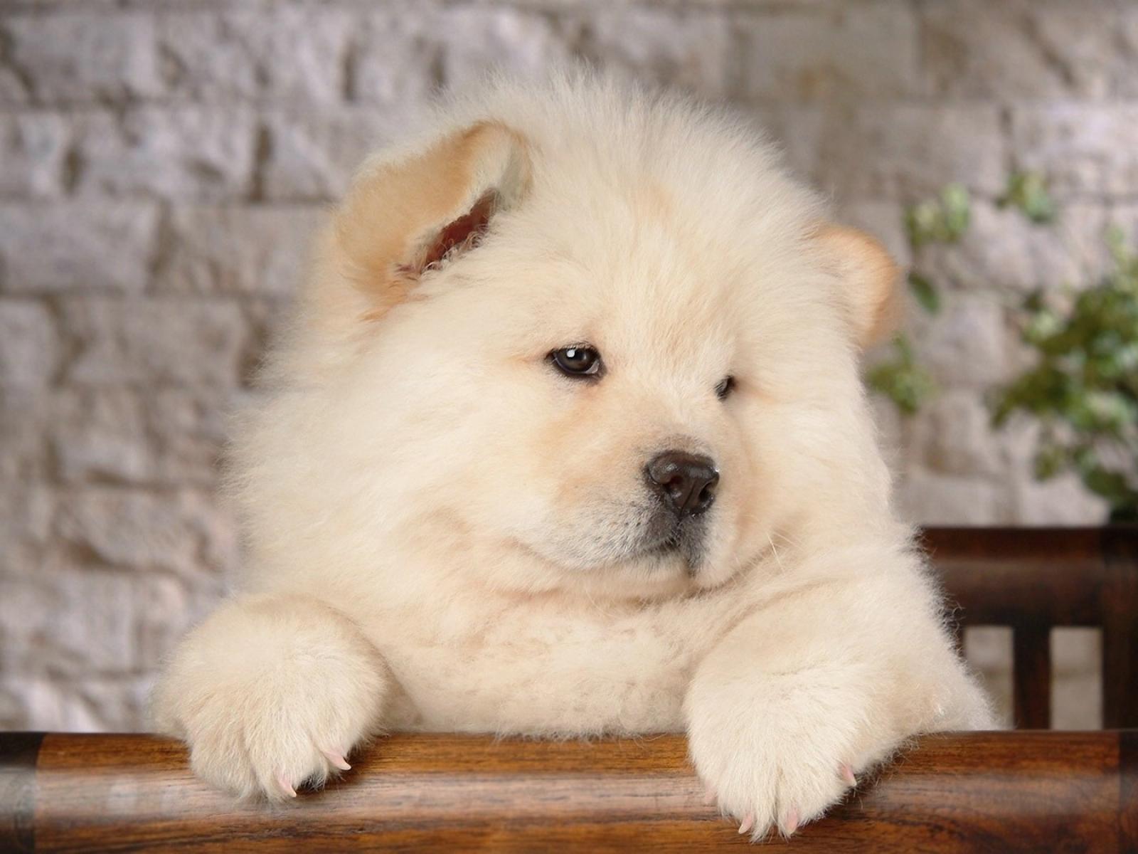 Chú chó chow chow lông trắng xù trông mặt khá là buồn