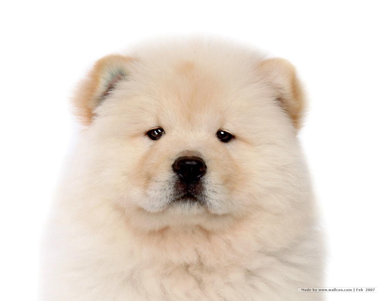 Chú chó chow chow mắt sáng long lanh