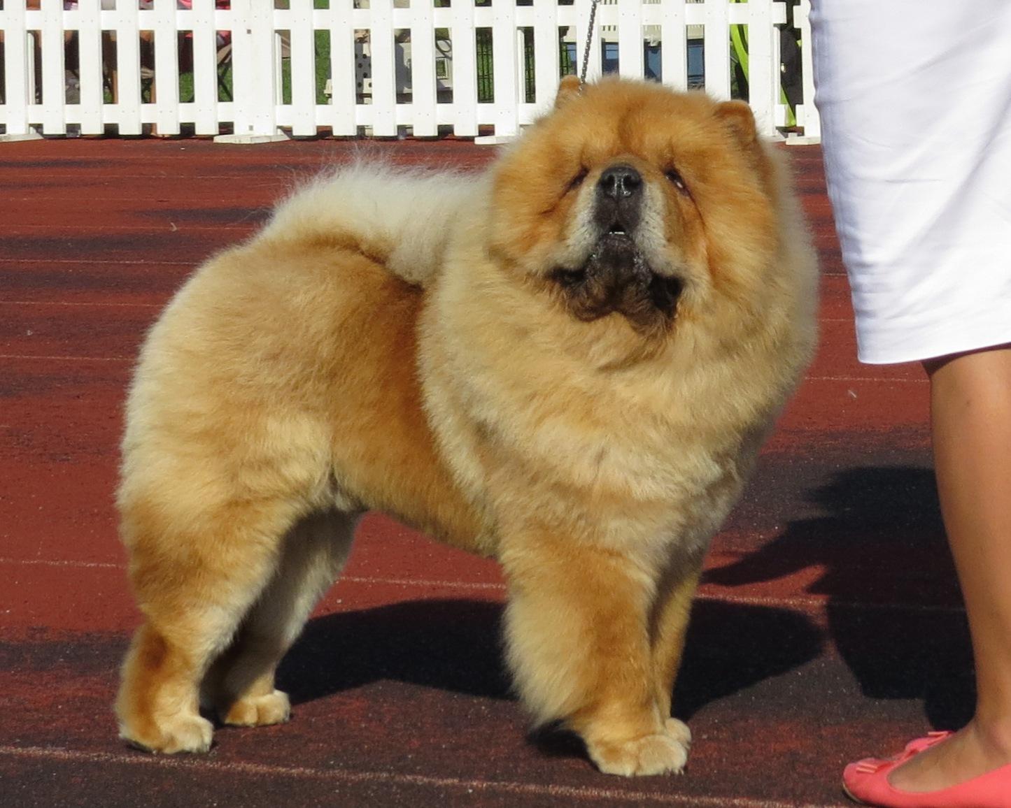 Chú chó chow chow ngẩng đầu lông vàng