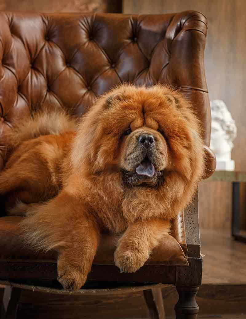 Chú chó chow chow ngồi trên ghế xinh