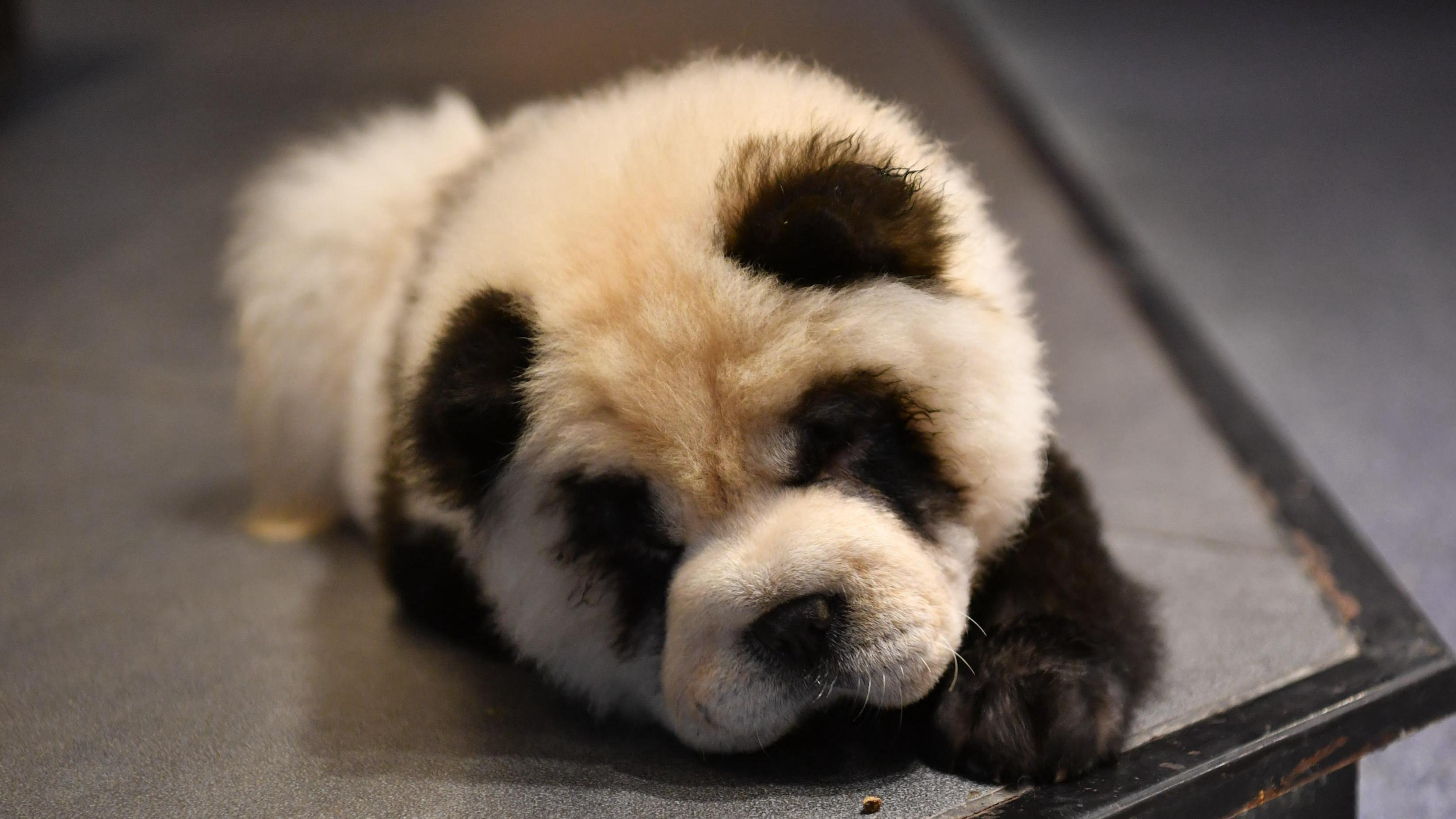 Chú chó chow chow nhuộm lông như gấu panda