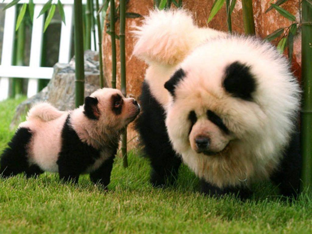 Chú chó chow chow nhuộm lông trông như hai con gấu trúc