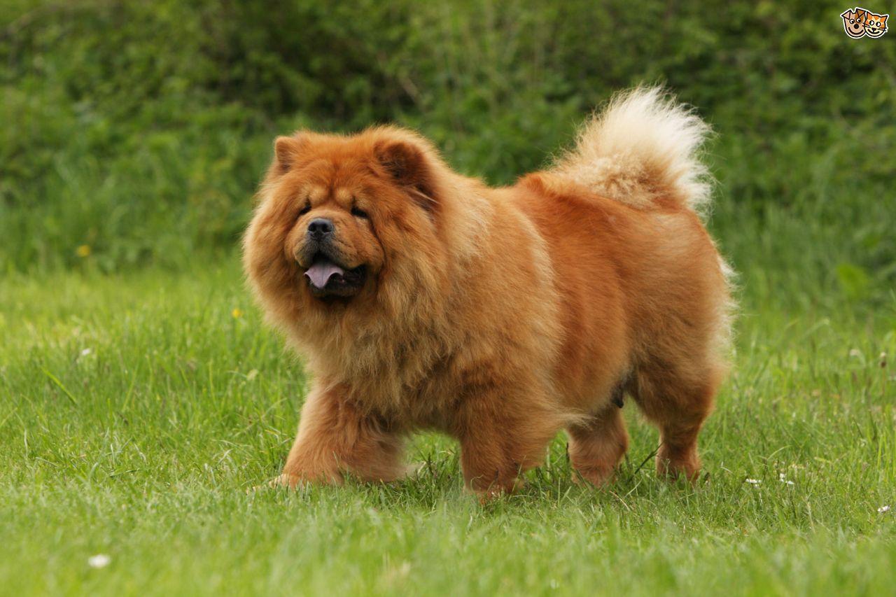 Chú chó lông vàng nâu xù chow chow