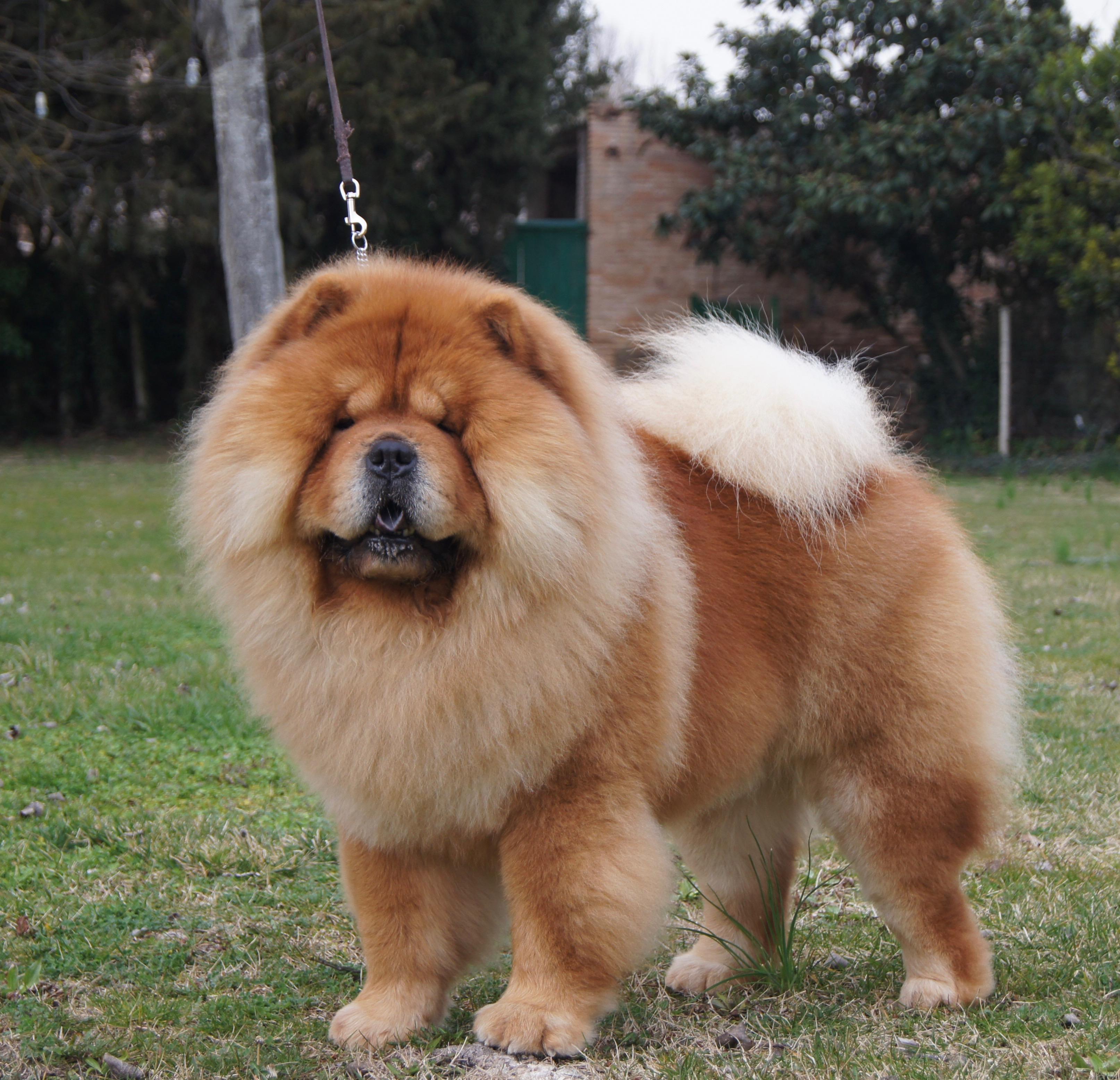 Chú chó vàng xinh chow chow cực xinh